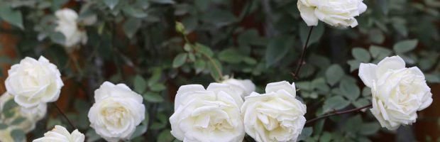hoa hồng bạch xếp